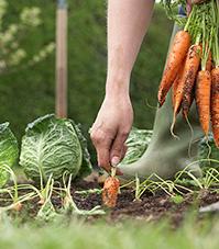 Gardener pulling carrots